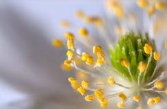 花银莲花属。 库存照片