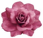 花隔绝了在白色背景的桃红色玫瑰 特写镜头 响铃圣诞节设计要素 免版税图库摄影