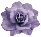 花隔绝了在白色背景的紫色玫瑰 特写镜头 响铃圣诞节设计要素 免版税库存照片