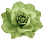 花隔绝了在白色背景的绿色玫瑰 特写镜头 响铃圣诞节设计要素 免版税库存图片