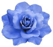 花隔绝了在白色背景的蓝色玫瑰 特写镜头 响铃圣诞节设计要素 图库摄影