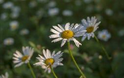花雏菊与小滴的特写镜头宏指令在蓝色背景的雨水露珠 文本的花卉夏天模板 库存照片