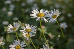 花雏菊与小滴的特写镜头宏指令在蓝色背景的雨水露珠 文本的花卉夏天模板 免版税库存图片