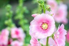 花霍莉飞腓节(蜀葵)白色在庭院里 免版税库存照片