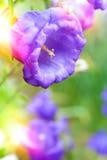 花风轮草响铃和阳光 背景细部图花卉向量 图库摄影