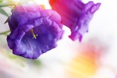 花风轮草响铃和阳光 背景细部图花卉向量 库存图片