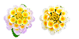 花马樱丹属camara在白色背景被隔绝 免版税库存图片