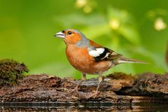 花鸡, Fringilla coelebs,橙色歌手坐好的地衣树枝与,小的鸟在自然森林栖所, c 库存图片