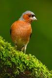 花鸡, Fringilla coelebs,橙色歌手坐好的地衣树枝与,小的鸟在自然森林栖所, c 免版税库存图片
