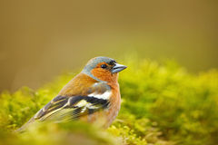 花鸡, Fringilla coelebs,橙色歌手坐好的地衣树枝与,小的鸟在自然森林栖所, c 库存照片