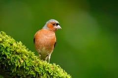 花鸡, Fringilla coelebs,橙色歌手坐好的绿色地衣树枝与,在自然森林habi的小的鸟 免版税库存图片