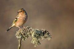 花鸡Fringilla coelebs花鸡坐有青苔的一根美丽的棍子 图库摄影