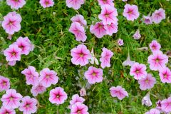 花,在温暖的冬天太阳开花的桃红色花 图库摄影