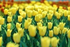 花,明亮的黄色郁金香的陈列 图库摄影