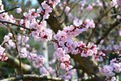 花,杏子,桃红色美丽的瓣 免版税库存图片