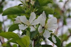 花,树,春天,白色,开花,自然,绿色,植物,庭院,花,绽放,分支,苹果,樱桃,宏指令,开花, closeu 库存图片