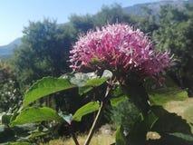 花,桃红色花,木头, 免版税库存照片