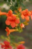 花,橙色吊钟花 与风轮草花束的美好的春天背景 花在春天森林-特写镜头里 图库摄影