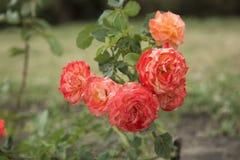 花,玫瑰花蕾 免版税库存图片