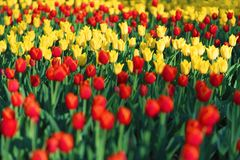 花,红色和黄色郁金香的陈列 库存照片
