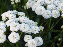 花,自然,庭院,领域,户外,瓣,秀丽,美丽,白色,黄色 库存图片