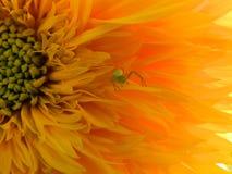 花,自然,庭院,领域,户外, Ð ¿ аук,蜘蛛瓣,秀丽,美丽,白色,黄色 免版税库存图片