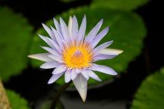花,莲花,气味,可口,泰国,酸值苏梅岛 免版税库存图片