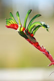 花,袋鼠爪子,澳洲 库存图片