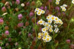 花,领域,草甸,雏菊,蒲公英,草,牧场地,杂草 免版税图库摄影
