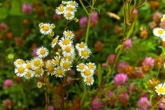 花,领域,草甸,雏菊,蒲公英,草,牧场地,杂草 库存图片