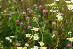 花,领域,草甸,雏菊,蒲公英,草,牧场地,杂草 库存照片