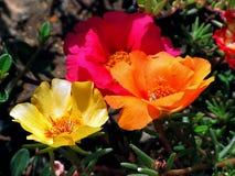 花,紫色, NazÙˆ大花的Portulaca 库存图片