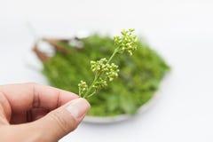 花, neem叶子 免版税图库摄影