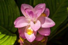花:Krajiao花,泰国郁金香 库存图片