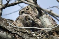 花费与妈妈的幼小猫头鹰之子时间 图库摄影