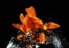 花-在水飞溅的万寿菊 免版税库存图片