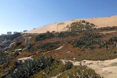 花/在沙丘的植物群:含沙沙丘倾斜的落后的冰厂 库存图片