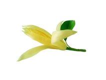 花 在白色背景的Champaka 木兰花,在白色b 免版税库存照片