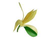 花 在白色背景的Champaka 木兰花,在白色b 库存照片