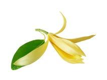 花 在白色背景的Champaka 木兰花,在白色b 免版税图库摄影