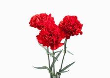 花 在白色背景隔绝的红色康乃馨花束 库存照片