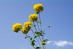 花-在蓝天被弄脏的背景的黄金菊lachinata金黄球与白色云彩的 库存图片