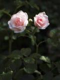 花 庭院玫瑰 图库摄影