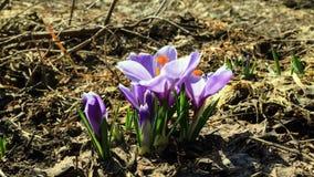 花绽放在春天 时间间隔 4K 影视素材