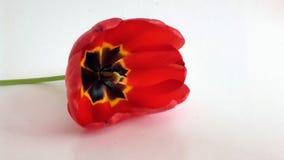 花-红色嗅到的郁金香 免版税库存图片