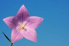 花紫色星形 免版税库存图片