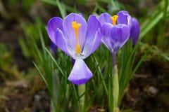 花紫色番红花 库存照片