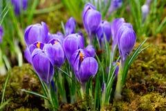 花紫色番红花 库存图片