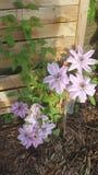 花紫色铁线莲属 免版税库存图片