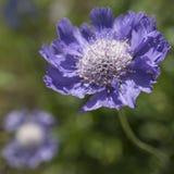 花紫色scabiosa 图库摄影